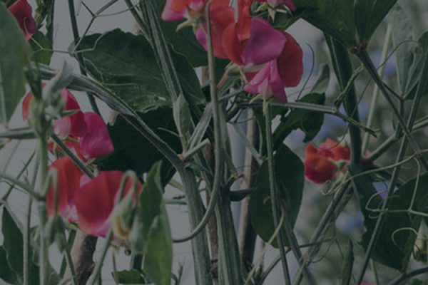 image of sweetpeas in a polytunnel