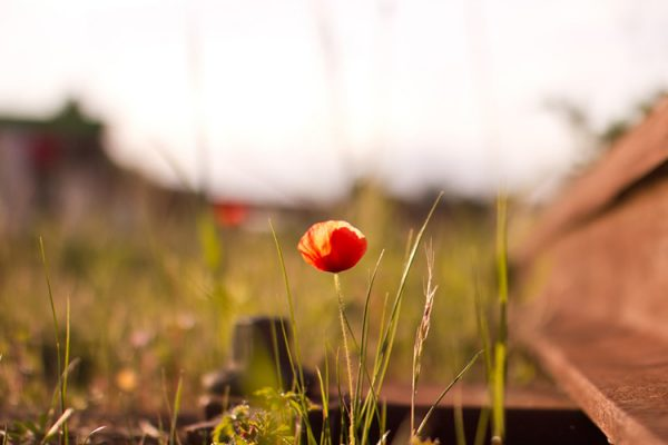 Image of a poppy beside a railway track