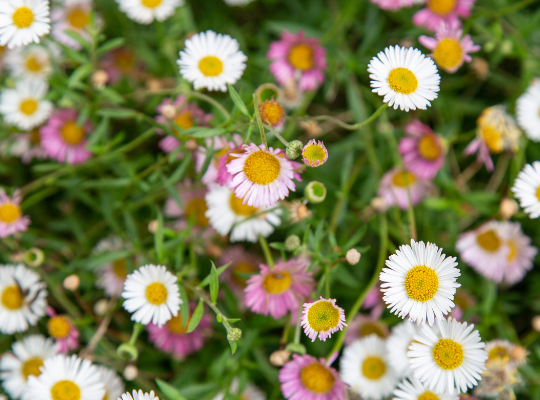 A photo of white and purple daisies