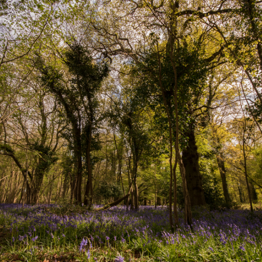 an image of a UK wood with trees and bluebells